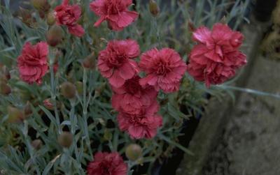 Anjer - Dianthus 'Heidi'