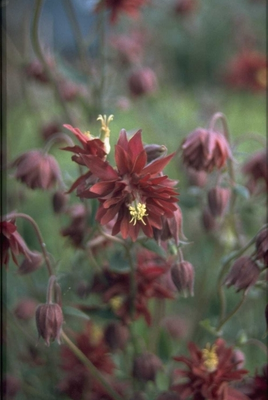 Wilde Akelei - Aquilegia vulgaris 'Ruby Port'