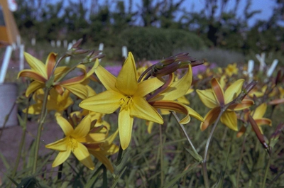 Daglelie - Hemerocallis 'Gold Dust'