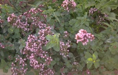 Wilde marjolein - Origanum vulgare