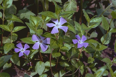 Grote maagdenpalm - Vinca major 'Blue gold'