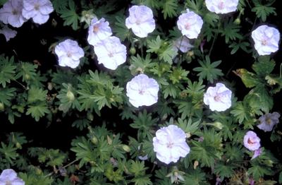 Bloedooievaarsbek - Geranium sanguineum 'apfelblüte'