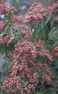 Rotsheide - Pieris japonica 'Valley Valentine'
