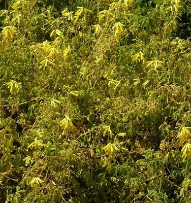 Gele Helmbloem - Corydalis lutea