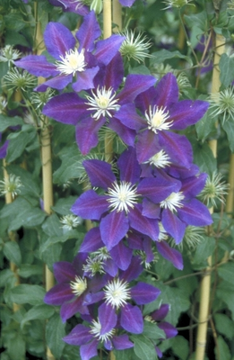 Clematis 'The Vagebont'