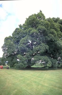 Gewone Esdoorn - Acer pseudoplatanus