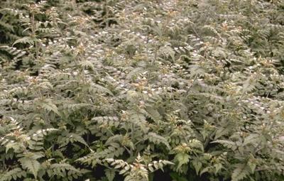 Braam Rubus thibetanus