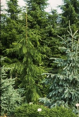 Fijnspar - Picea abies 'Viminalis'