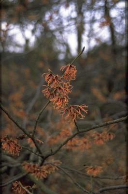 Toverhazelaar - Hamamelis x intermedia 'Ruby Glow'