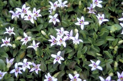 Ridderspoor - Delphinium 'Christel'