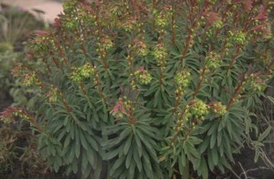 Wolfsmelk - Euphorbia x martinii