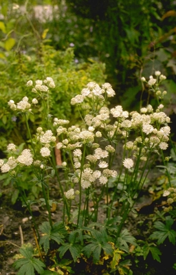 Zeeuws knoopje - Astrantia major 'Alba'