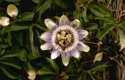 Passiebloem - Passiflora caerulea