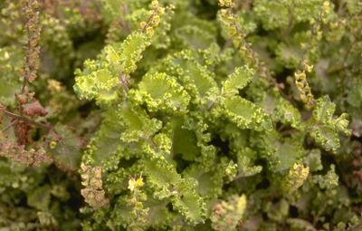 Valse Salie - Teucrium scorodonia 'Crispum'
