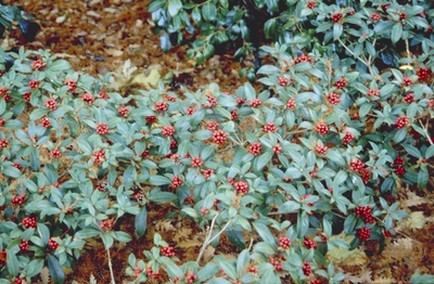 Skimmia - Skimmia japonica 'Veitchii'