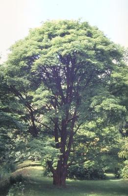 Esdoorn - Acer griseum