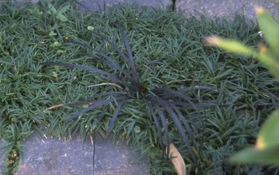 Japanse slangenbaard - Ophiopogon japonicus 'Minor'