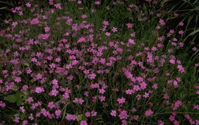 Steenanjer - Dianthus deltoides 'Rosea'
