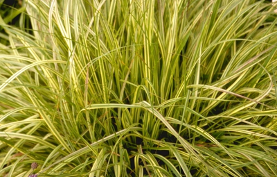 Pijpestrootje - Molinia caerulea 'Variegata'