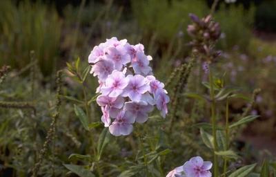 Flox - Phlox 'Lavendelwolke'