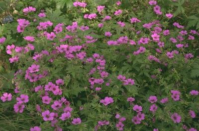 Ooievaarsbek - Geranium 'Patricia'
