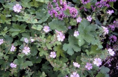 Ooievaarsbek - Geranium 'Chantilly'