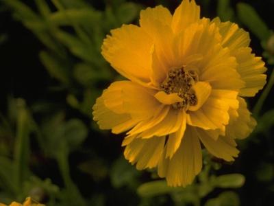 Meisjesogen - Coreopsis grandiflora 'Sunray'