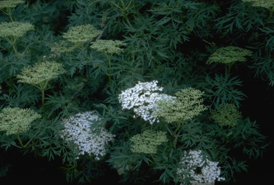 Peterselievlier - Sambucus nigra 'Laciniata'