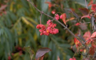 Wilde kardinaalsmuts - Euonymus europaeus