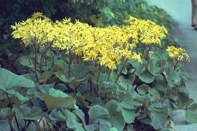 Kruiskruid - Ligularia dentata 'Desdemona'