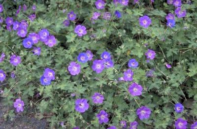 Ooievaarsbek - Geranium 'Jolly Bee'