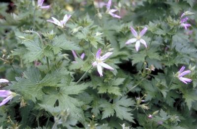 Ooievaarsbek - Geranium x oxonianum 'Sherwood'