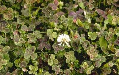 Witte klaver - Trifolium repens 'Pentaphyllum'