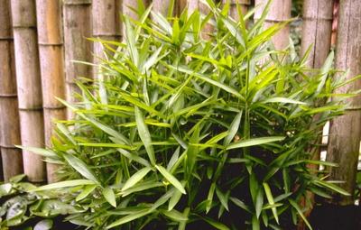 Bamboe - Pleioblastus humilis var. pumilus