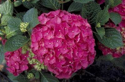 Hortensia - Hydrangea macrophylla 'alpenglühen'