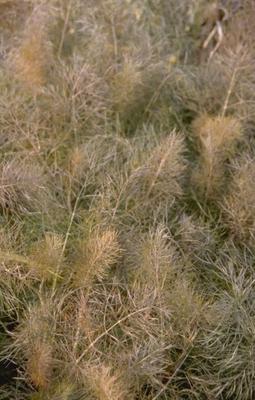 Venkel - Foeniculum vulgare 'Purpureum'