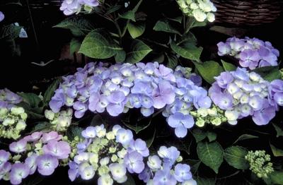 Hortensia - Hydrangea macrophylla 'Blauling'