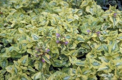 Gevlekte dovenetel - Lamium maculatum 'Golden Anniversary'