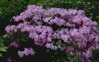 Flox - Phlox glaberrima subsp. triflora