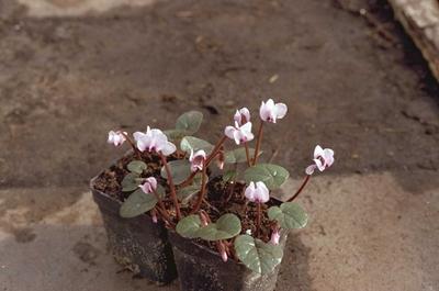 Koninginnenkruid - Eupatorium rugosum 'Braunlaub'