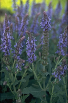 Salie - Salvia nemorosa 'Frederiek'