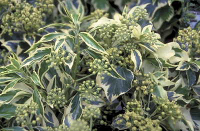 Struikklimop - Hedera colchica 'Golden Icecream'