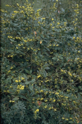 Zuurbes - Berberis julianae