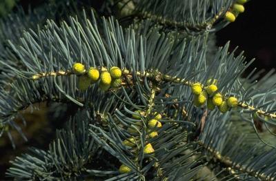 Colorado zilverspar - Abies concolor