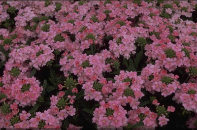 Verbena - Verbena 'Romance Pink'