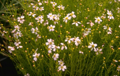 Meisjesogen - Coreopsis rosea 'Nana'
