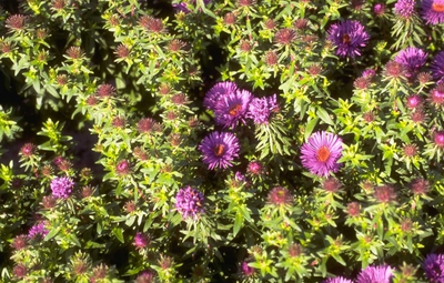 Herfstaster - Aster novae-angliae 'Purple Dome'