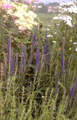 Aar ereprijs - Veronica spicata 'Romiley Purple'