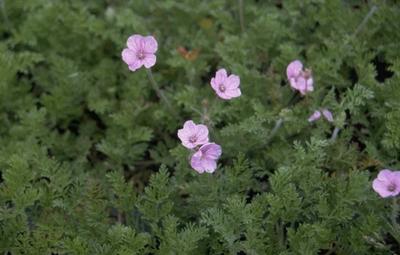 Reigersbek - Erodium 'County Park'