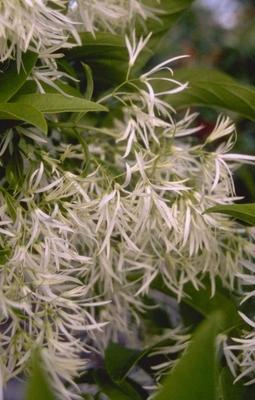 Sneeuwvlokkenboom 'Chionanthus virginicus'